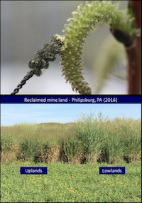 Switchgrass-mineland_Willow-controlled-pollination